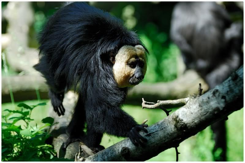 Documentaire : Saki et l'île aux singes