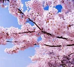 Même si les fleurs de cerisier du japon sont en pleine floraison, le
