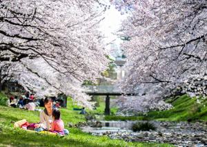 tokyo-cerisiers en fleur