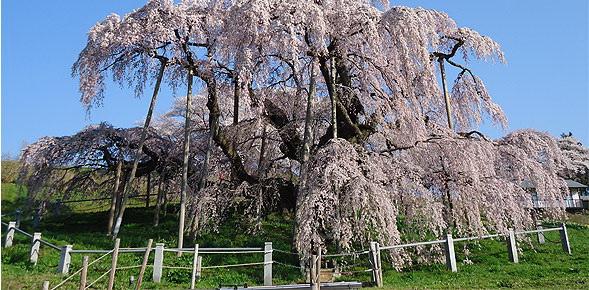 cerisier en fleurs du Japon